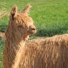 Alpacas - The cost what!